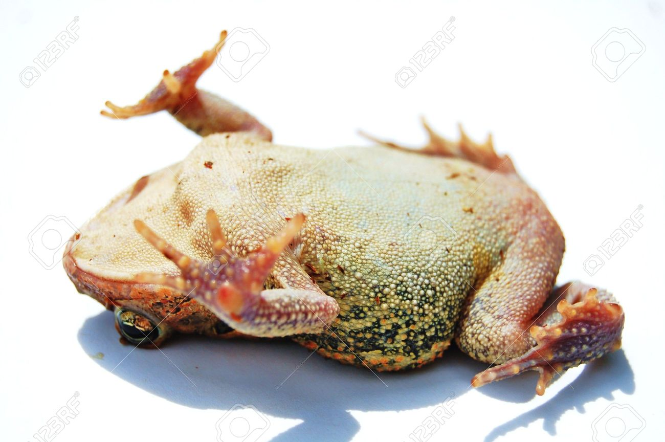 Toad playing dead on white background Stock Photo - 4565439