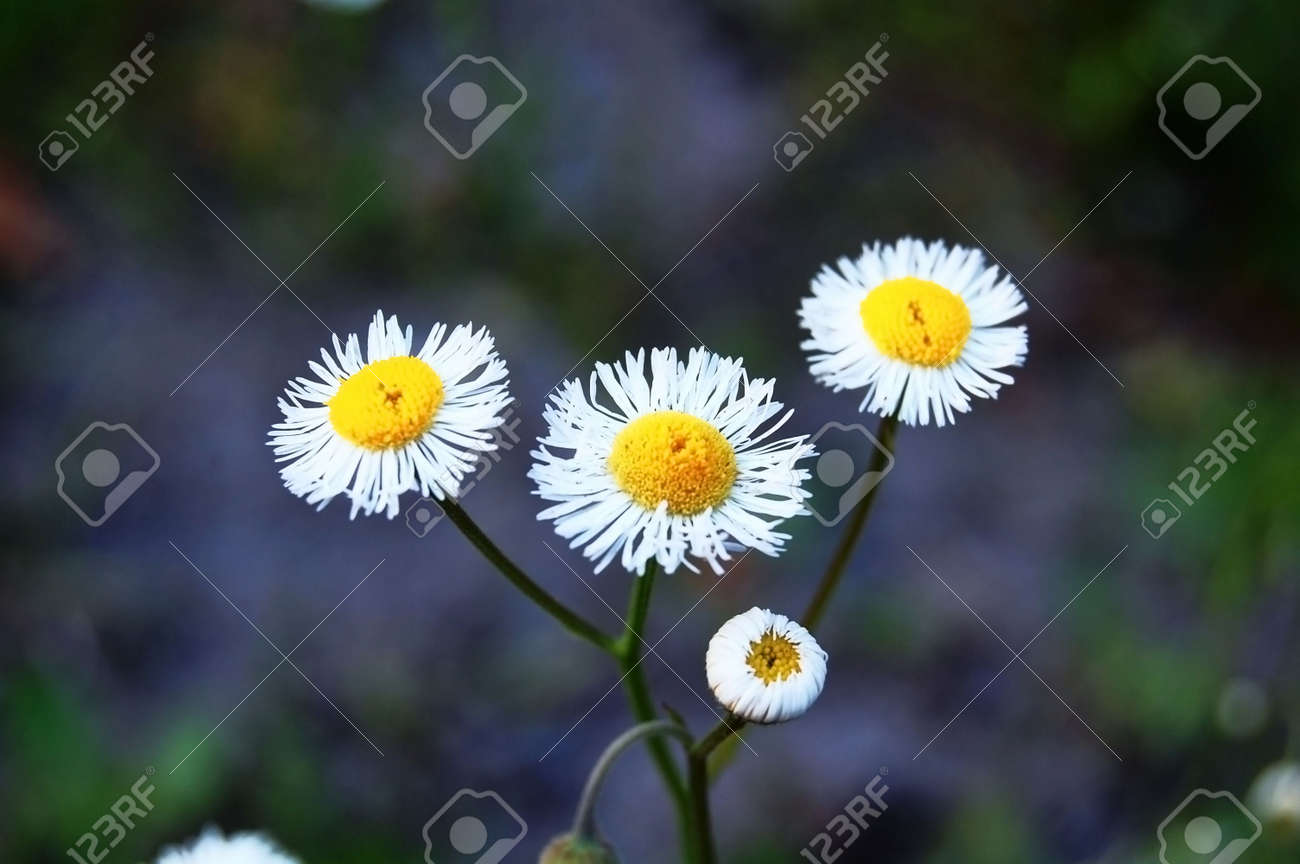Cluster Of Daisy Flowers Stock Photo Picture And Royalty Free Image