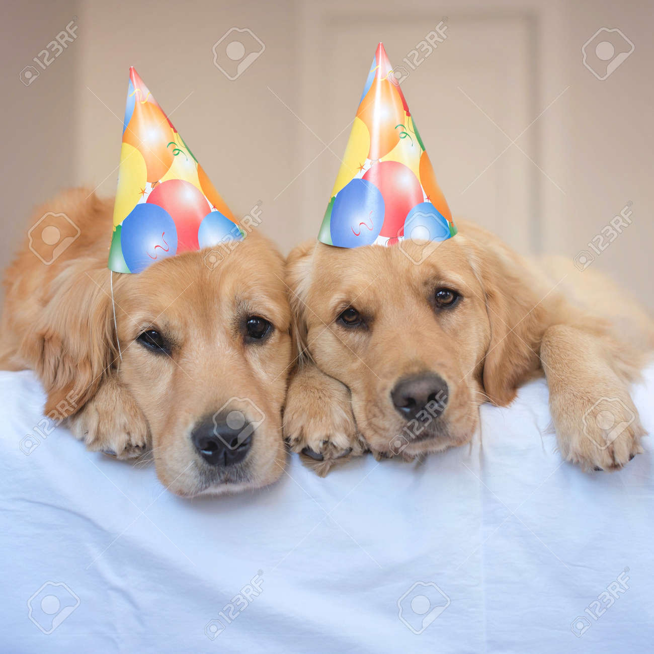 Two Golden Retriever Dogs Wearing Party Hats Stock Photo Picture