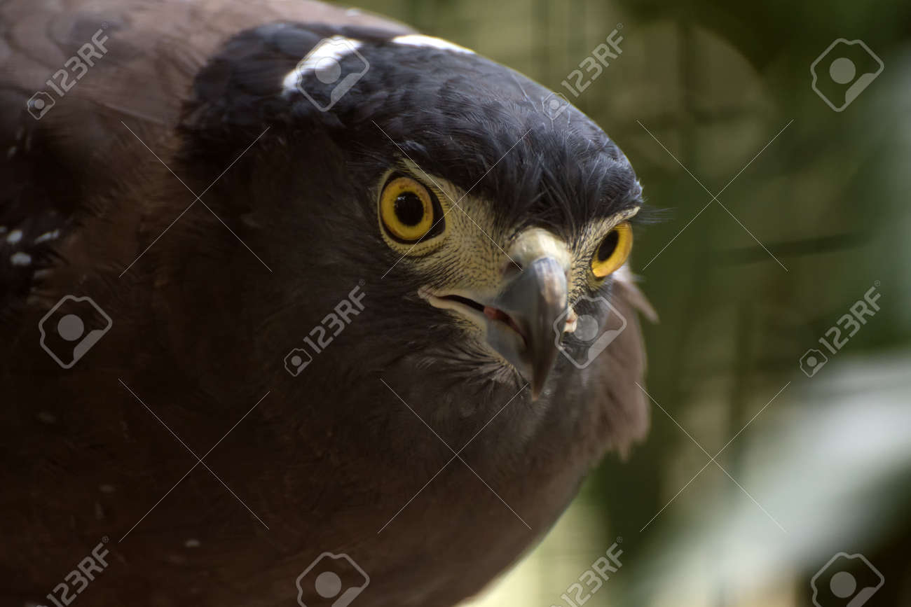 Portrait Of A Crested Serpent Eagle de469ce118