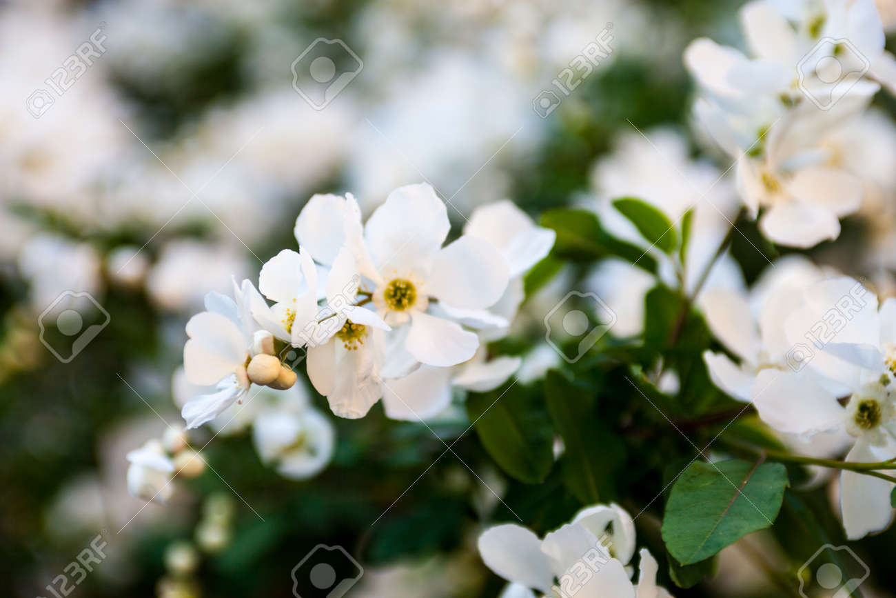 White Flowers On The Pear Tree Branches Stock Photo Picture And