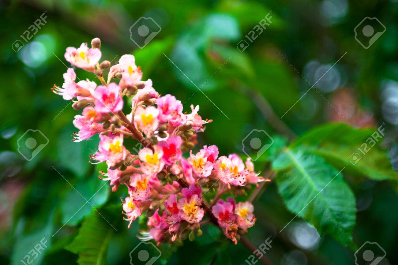 Bunch of pink flowers of the horse chestnut tree stock photo bunch of pink flowers of the horse chestnut tree stock photo 28801199 mightylinksfo Gallery