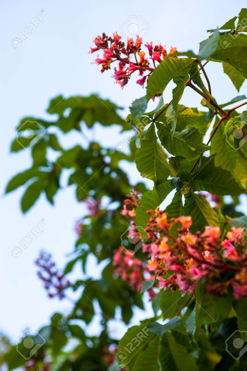 Bunches of pink flowers of the horse chestnut tree against the bunches of pink flowers of the horse chestnut tree against the blue sky stock photo mightylinksfo