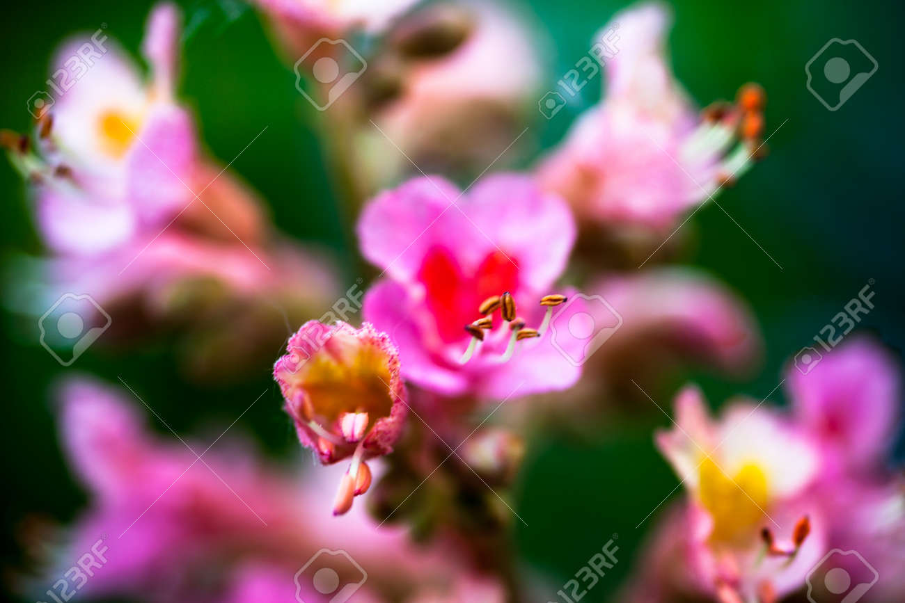 Closeup of pink flowers of the horse chestnut tree stock photo closeup of pink flowers of the horse chestnut tree stock photo 31656028 mightylinksfo Gallery