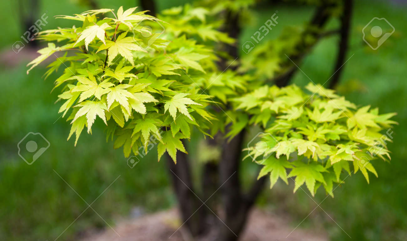 Green Leaves On The Branches Of The Japanese Maple Acer Palmatum