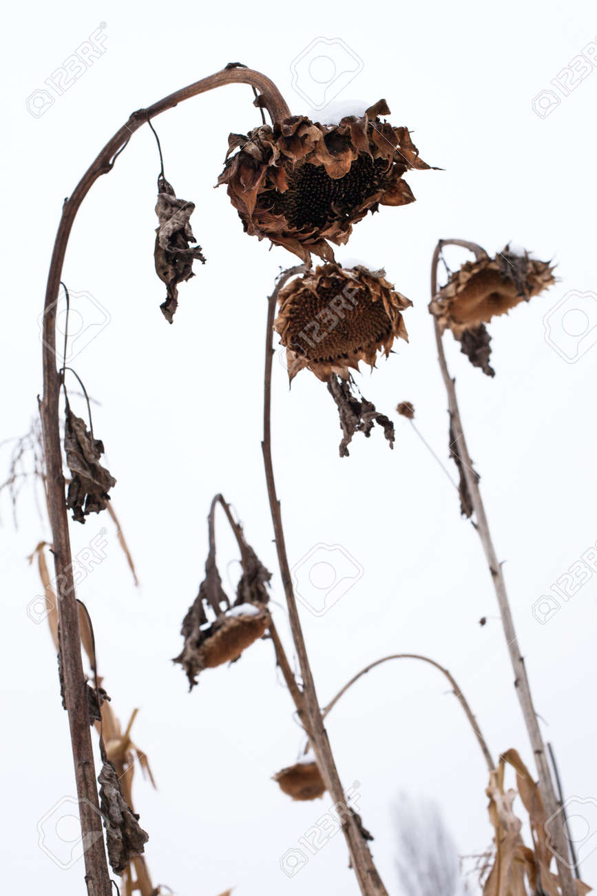 Withered Sunflowers
