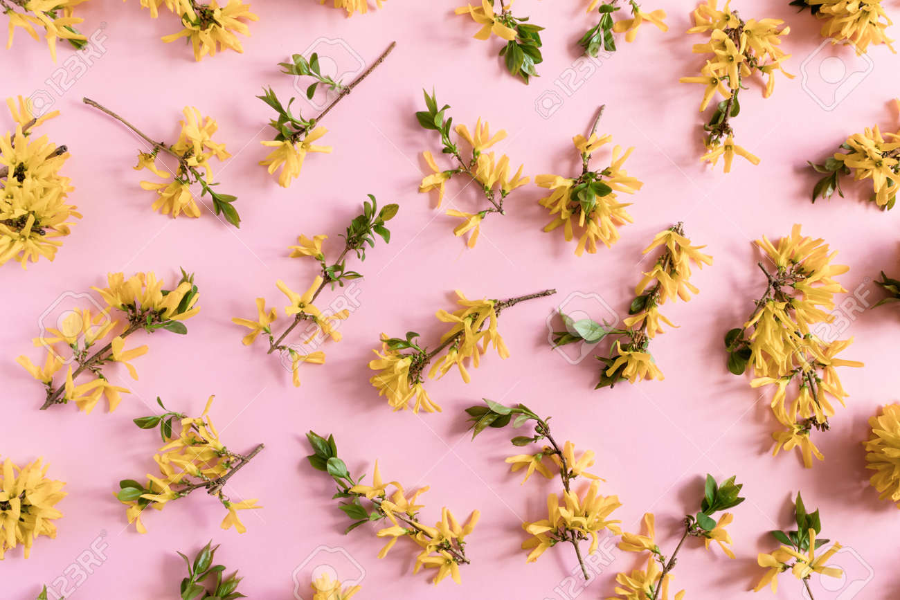 Pattern Made Of Yellow Forsythia Flowers On A Pink Pastel