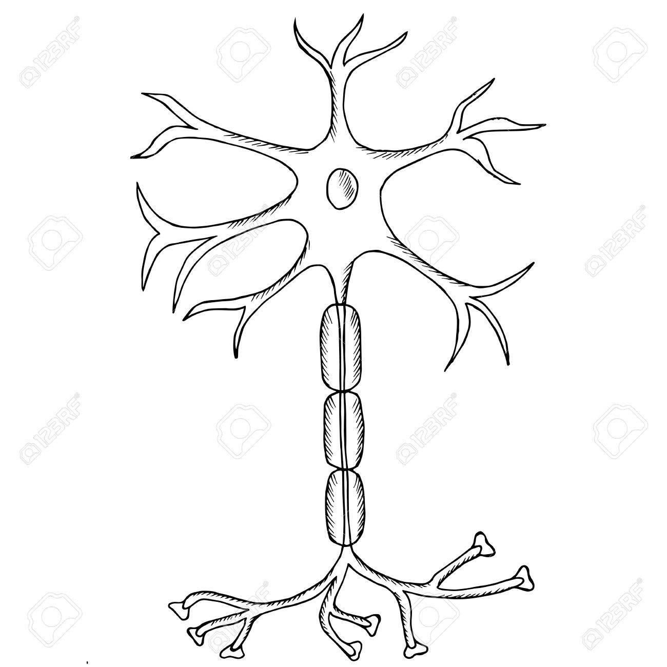 Nervenzelle Neuron, Neuron, Im Skizzenstil. Isoliert Auf Weißem ...
