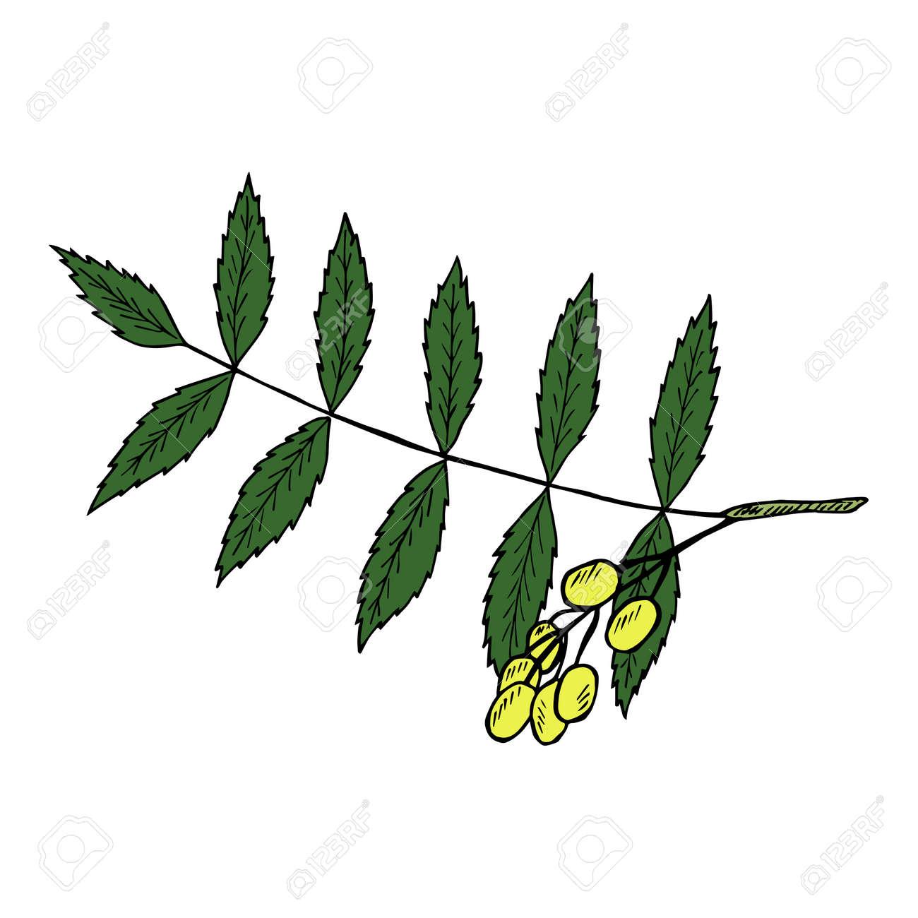 Neem Or Nimtree Medicinal Plant Ayurvedic Herb Hand Drawing