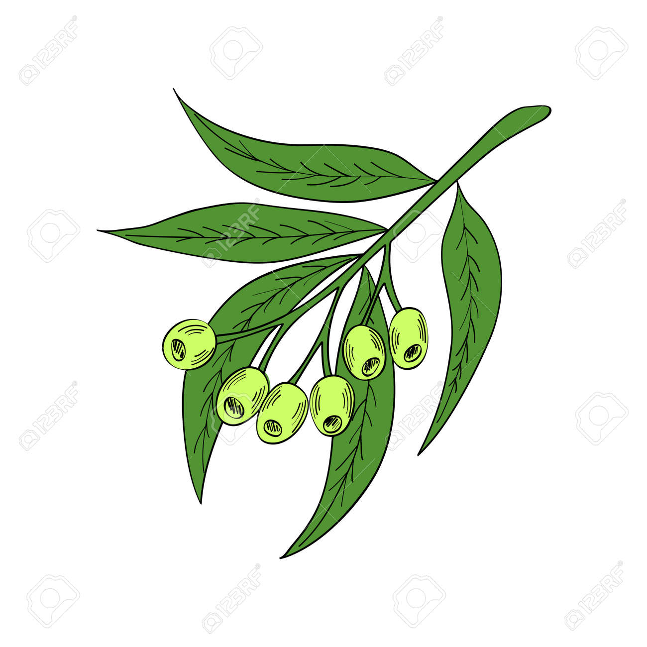 Hand Drawn Eucalyptus Leaves And Fruits Eucalyptus Plant Branch Royalty Free Cliparts Vectors And Stock Illustration Image 76737381