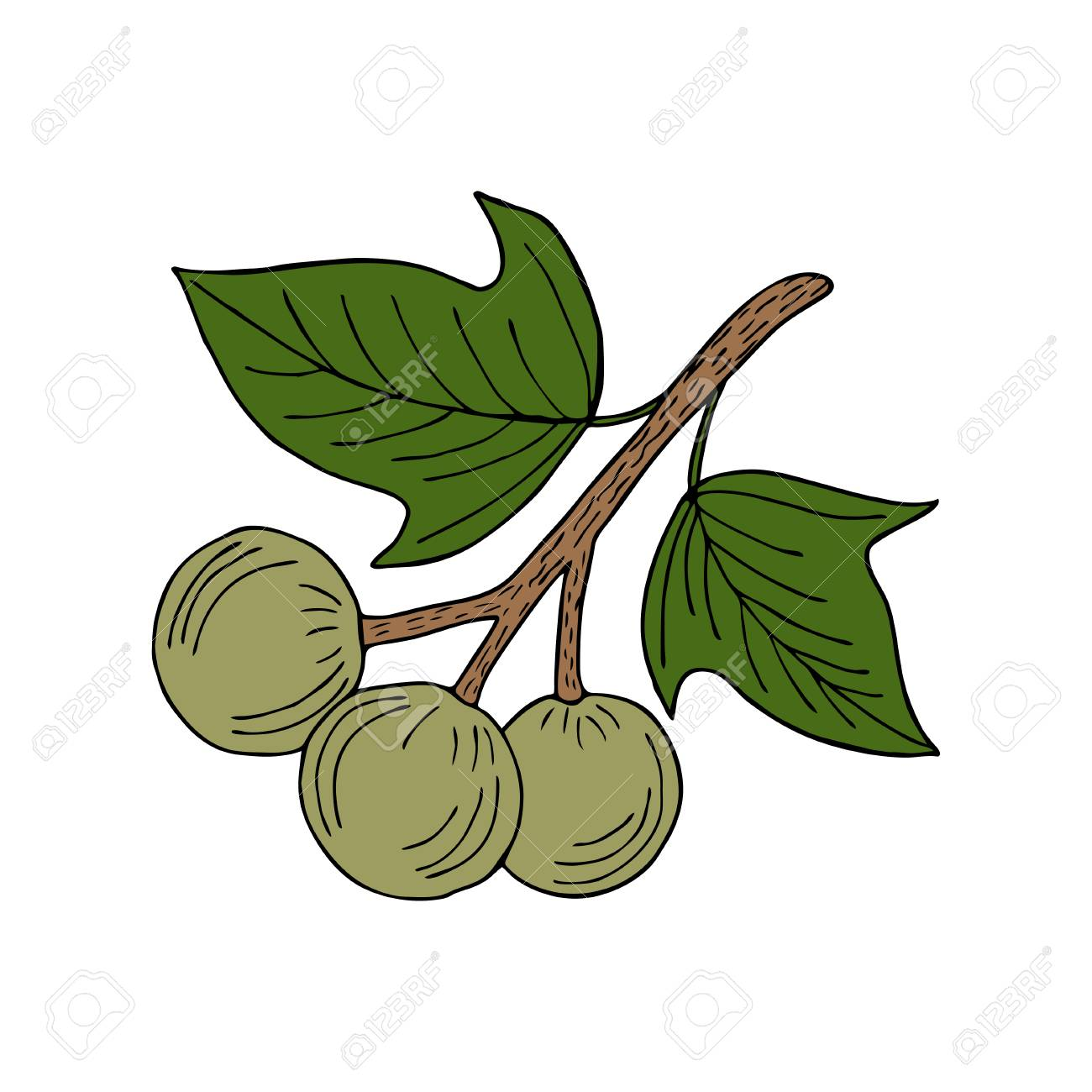 Kukui nut tree (Aleurites moluccana). Nuts, plant, berry, fruit natural organic butter ingredient. Hand drawn ink sketch illustration. Treatment, cosmetics, food ingredient. Isolated. - 86852979