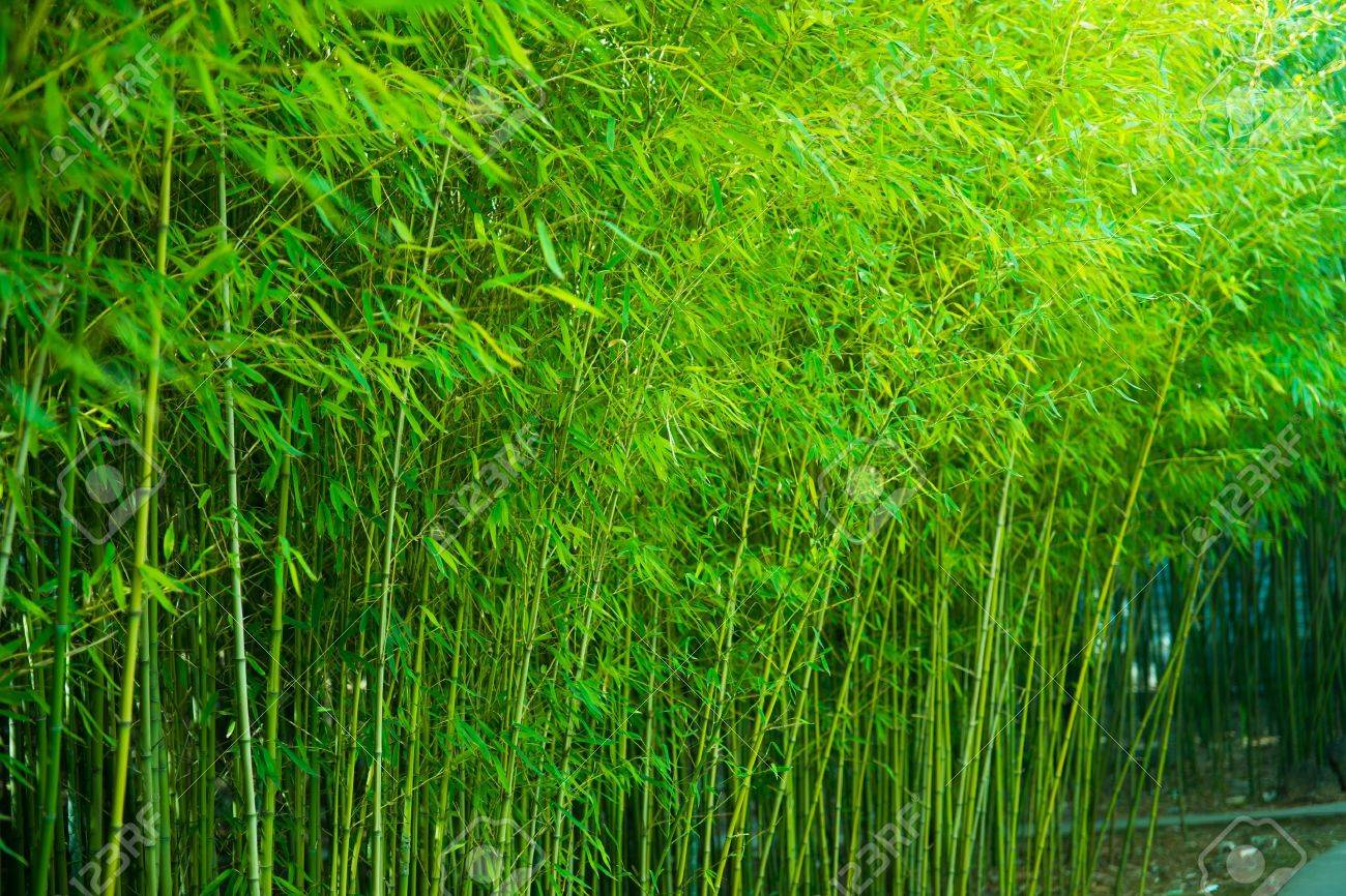 the bamboo forest in spring Standard-Bild - 19936762