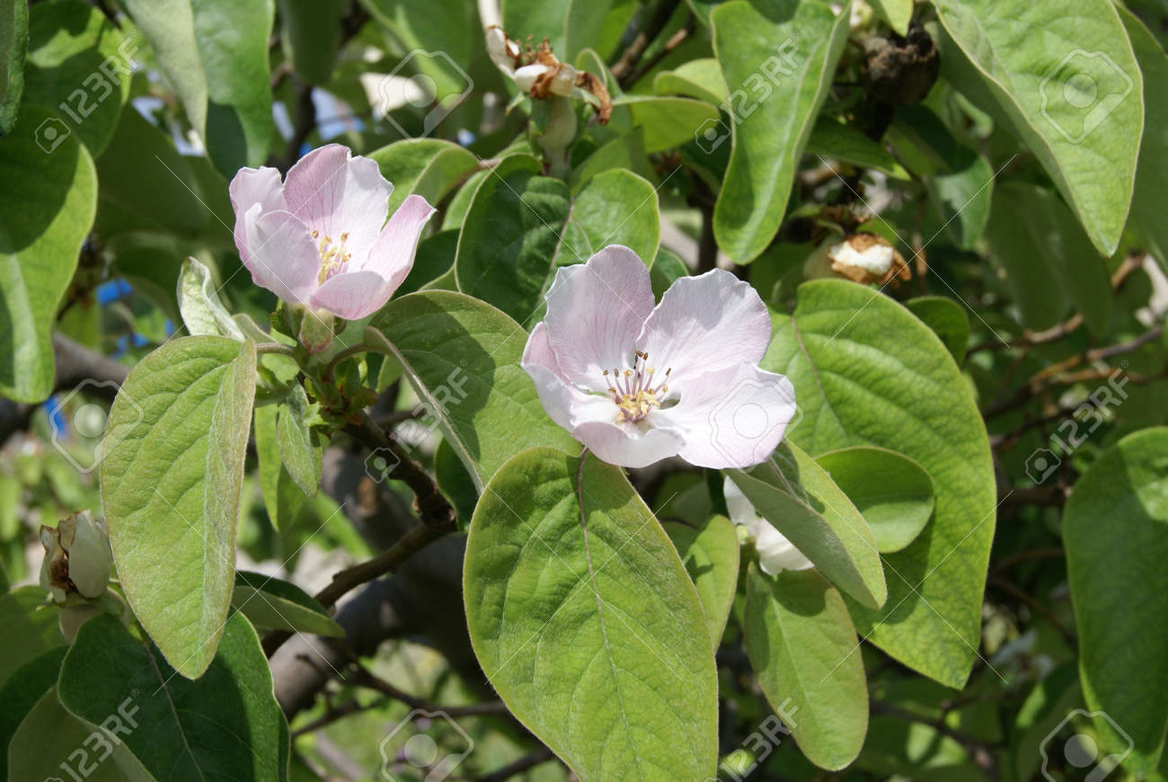 Tropical quince fruit tree blossoms