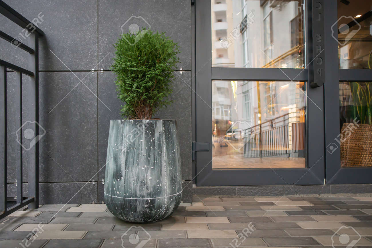 Green small spherical Chinese thuja in a concrete pot near the house at the entrance. Traditional home decorations. Entrance to the building, a pot of flowers and a small thuja - 173010752