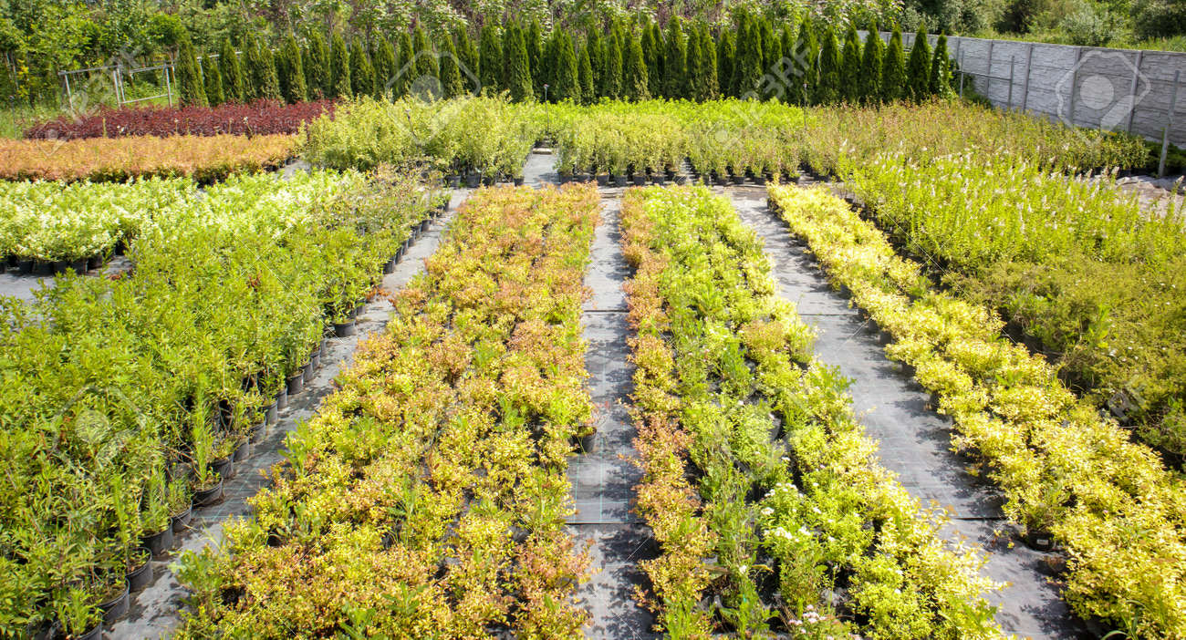 Potted plants are sold at the garden center. Selling plants outdoors. Many varieties of green plants. Flowers, fir, spruce, thuja, apple and other fruit trees. Everything to decorate your garden - 173011429