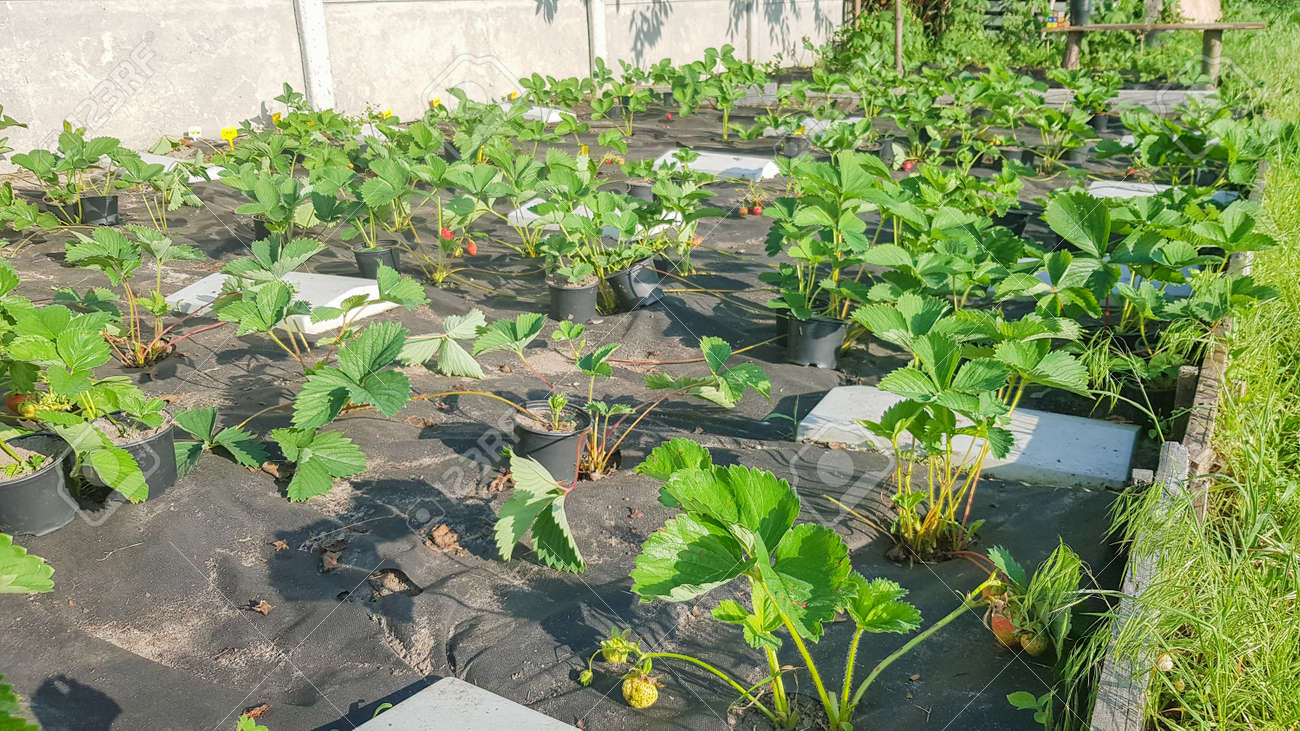 Strawberry beds, in spring or summer on a sunny day. Bush berries. Degenerate strawberry bushes grow in the garden in the village - 173234976