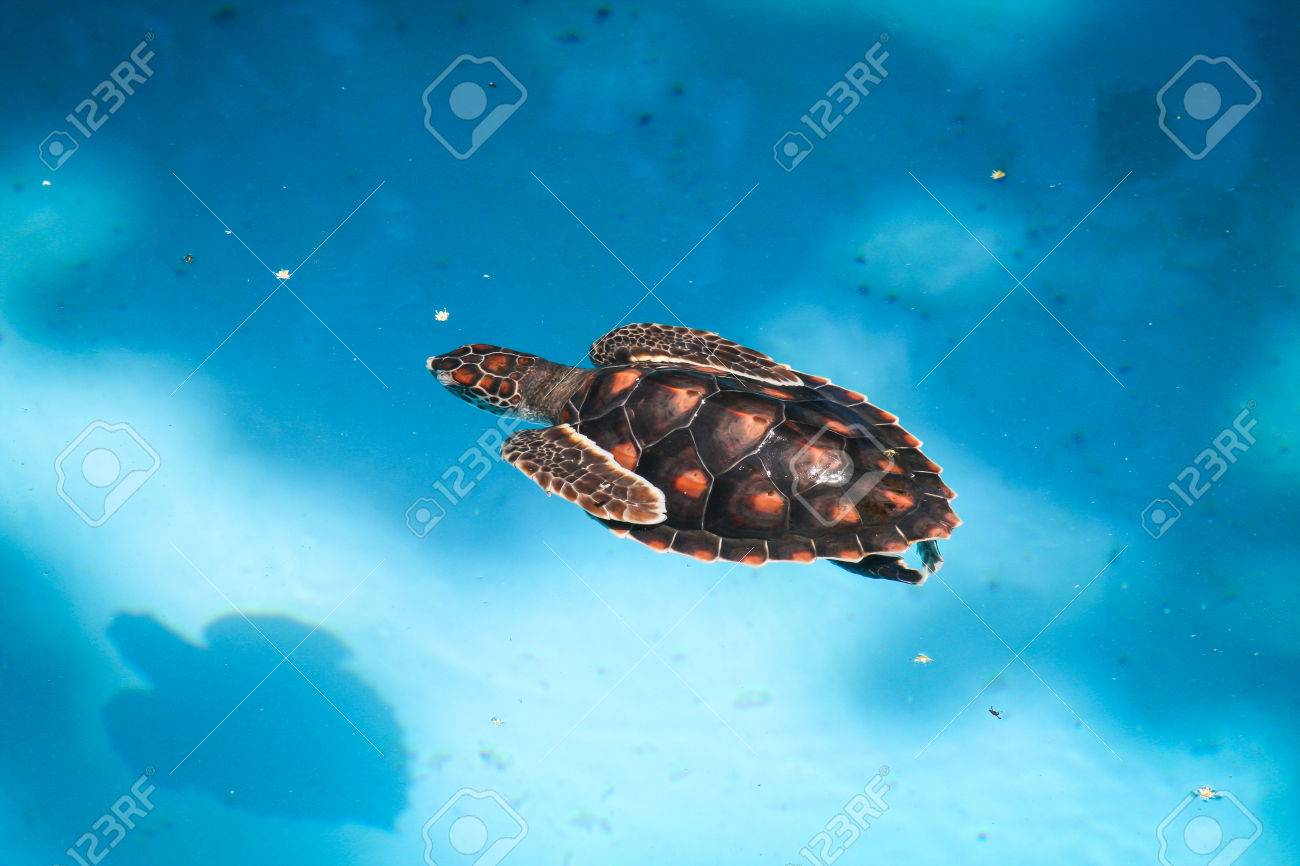 Sea turtle swimming in a pool in Salvador, Brazil