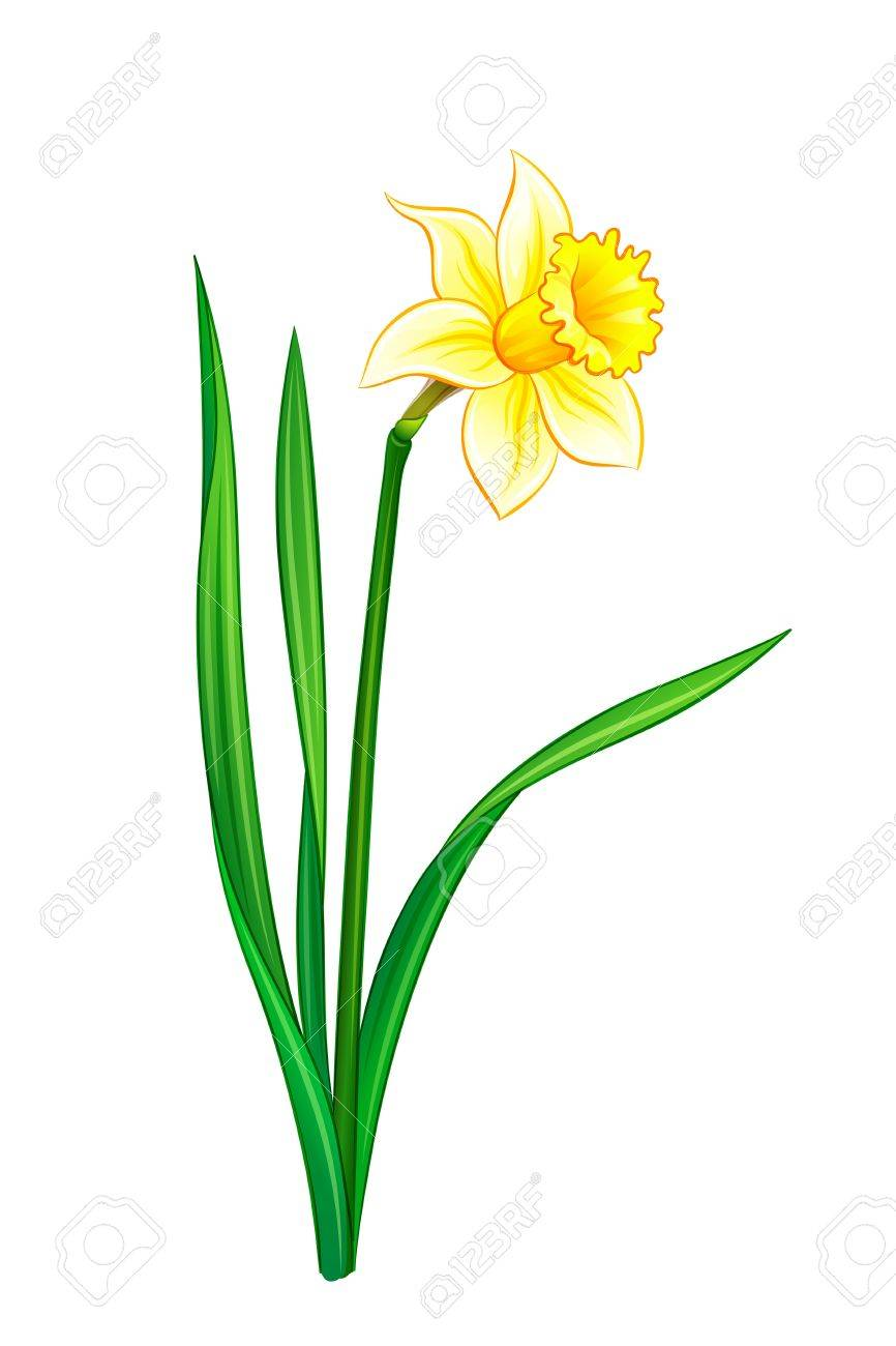 Narcissus - vector illustration. EPS10 format Stock Vector - 18248337