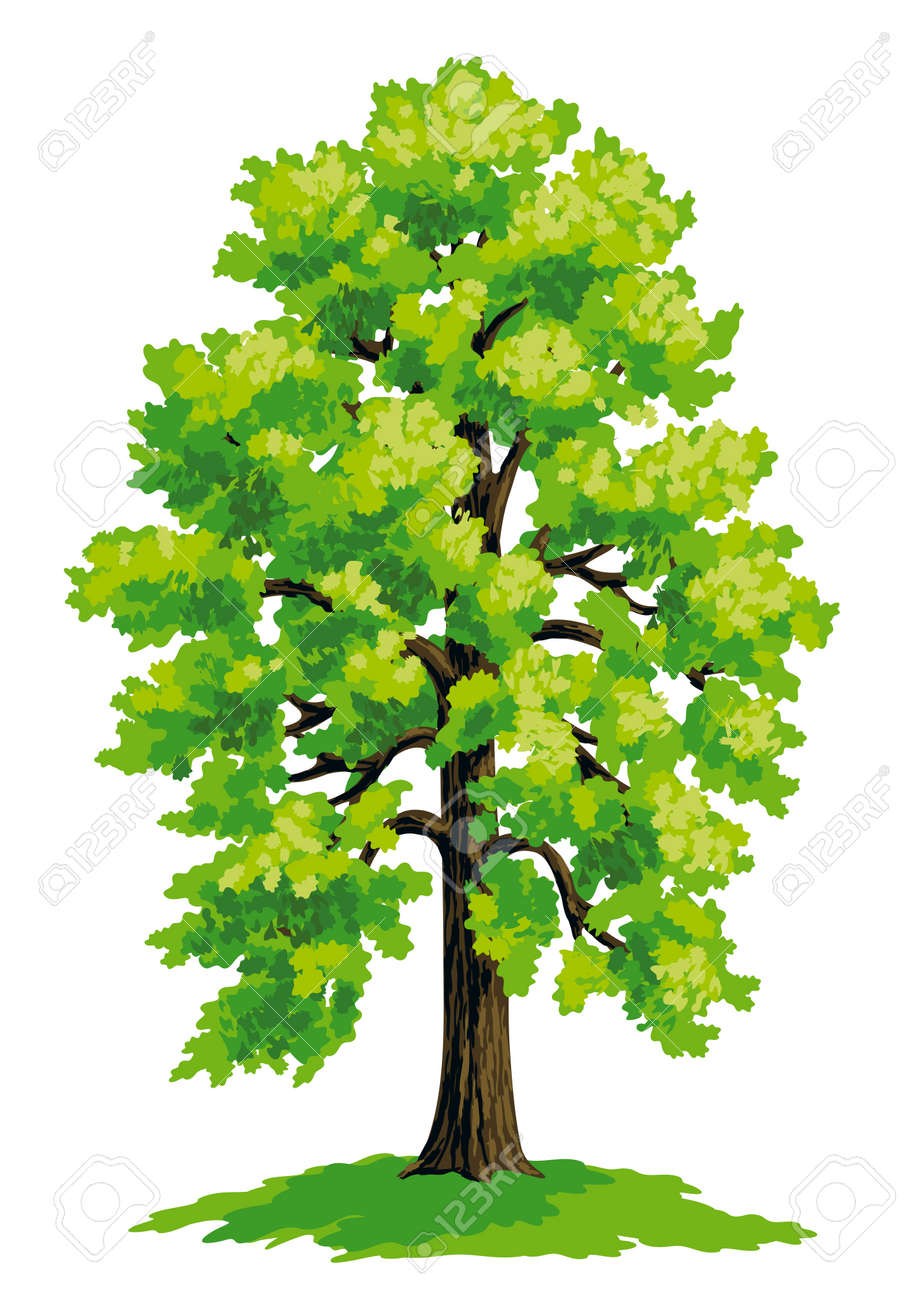 Vector drawing of linden. - 60909449