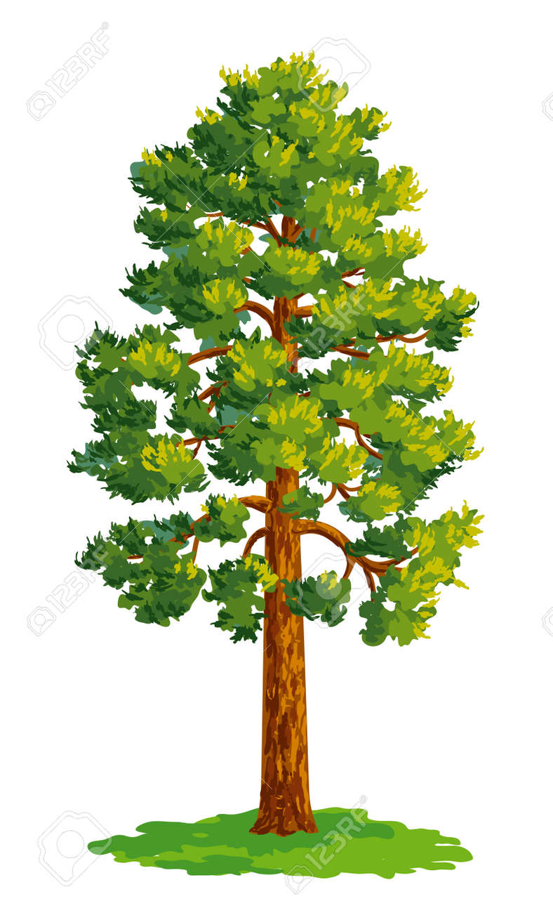 Vector drawing of pine tree. - 63006515