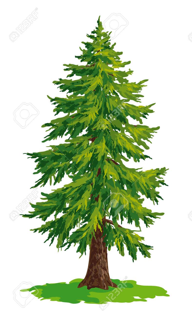 Vector drawing of fir tree. - 63006527