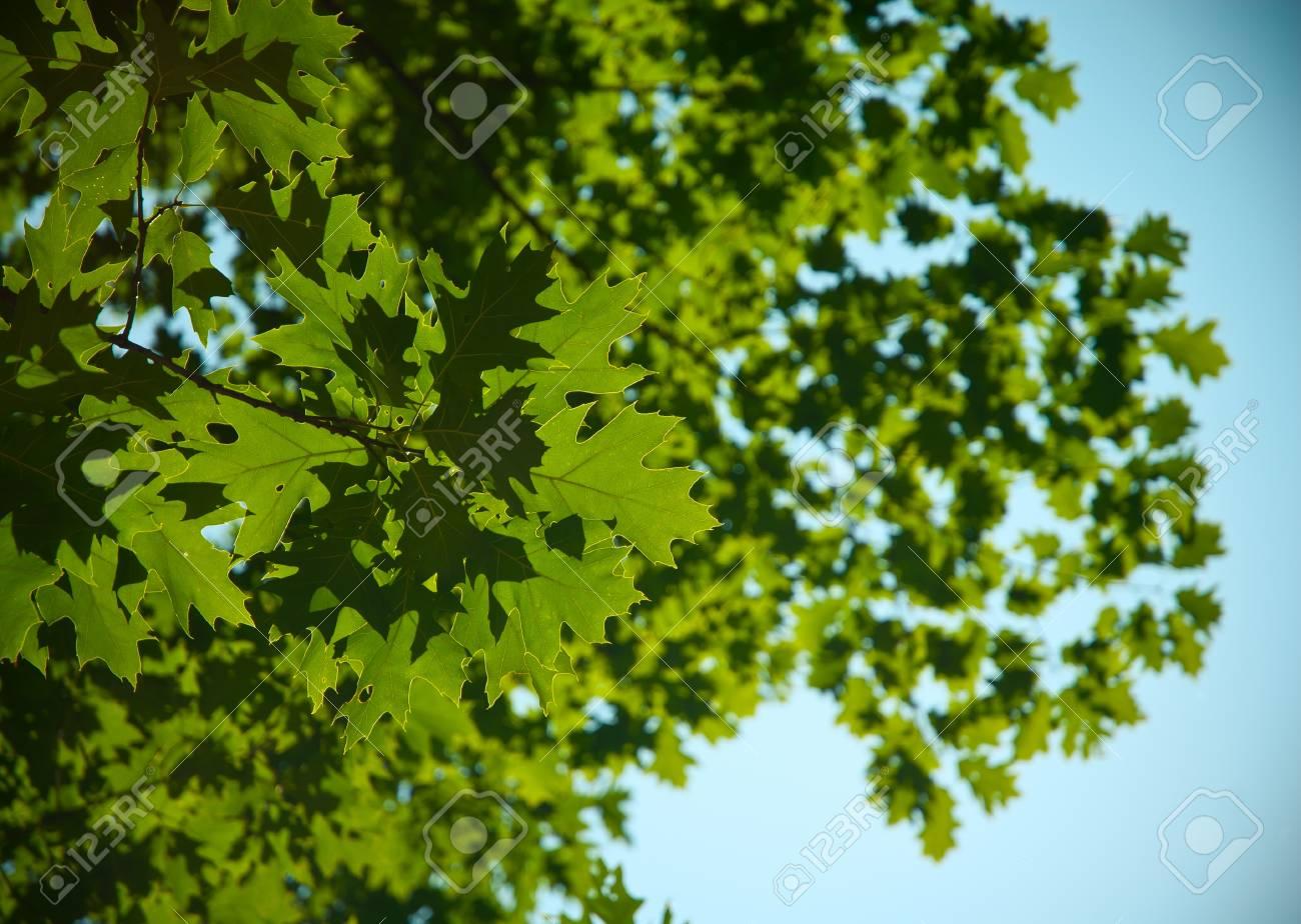 Green oak leaves Stock Photo - 17198286