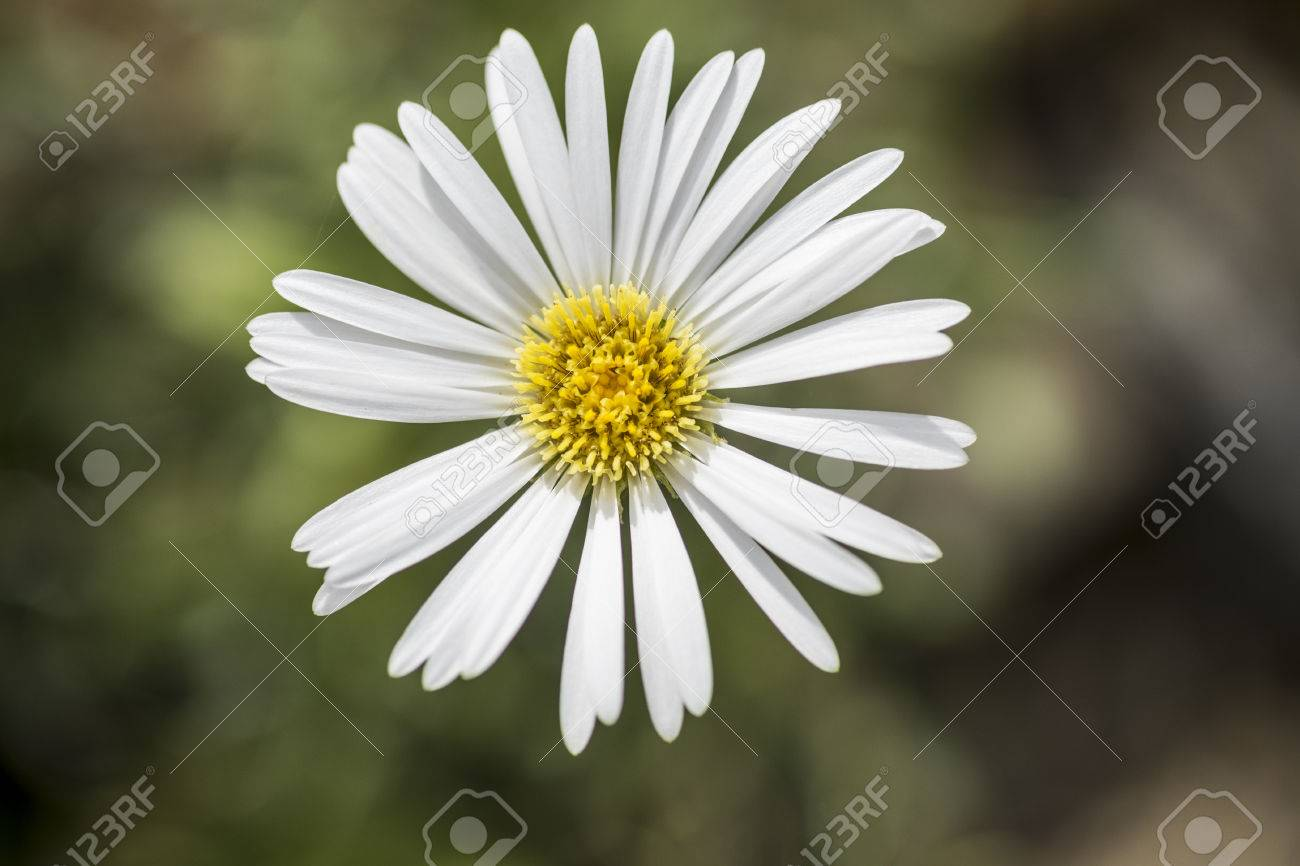 Celmisia Hookeri White Daisy Like Flower With Yellow Centre