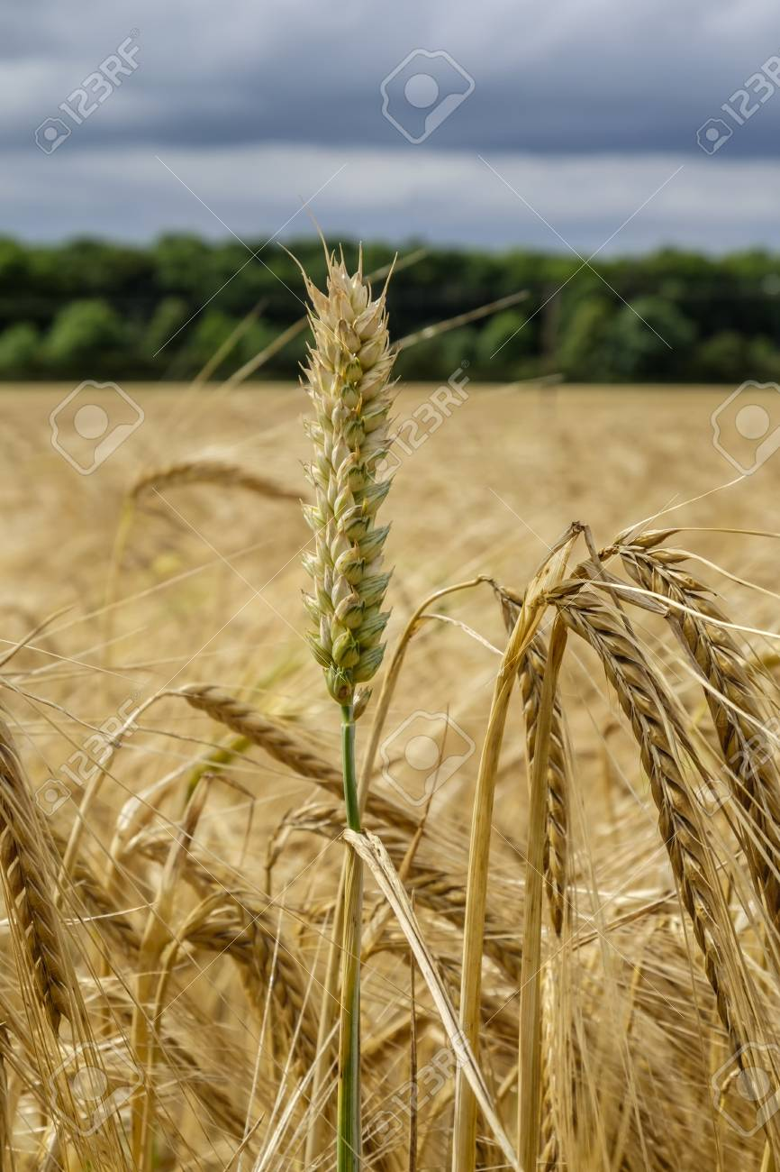 Stem Of Wheat In Focus Stands Out From The Crowd In A Field Of