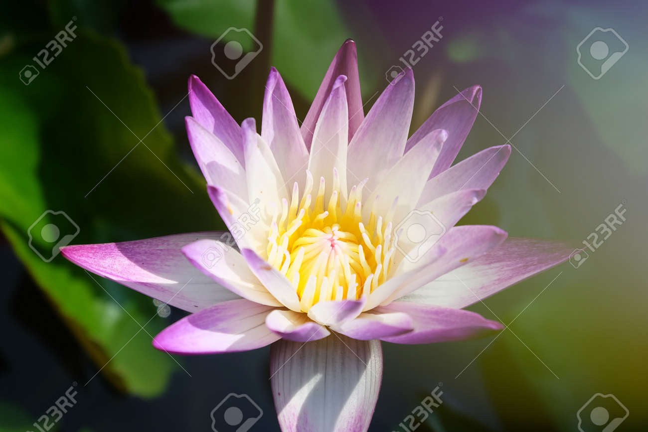 Soft Focus And Blurry Lotus Flower Plants Water Lily Abstract