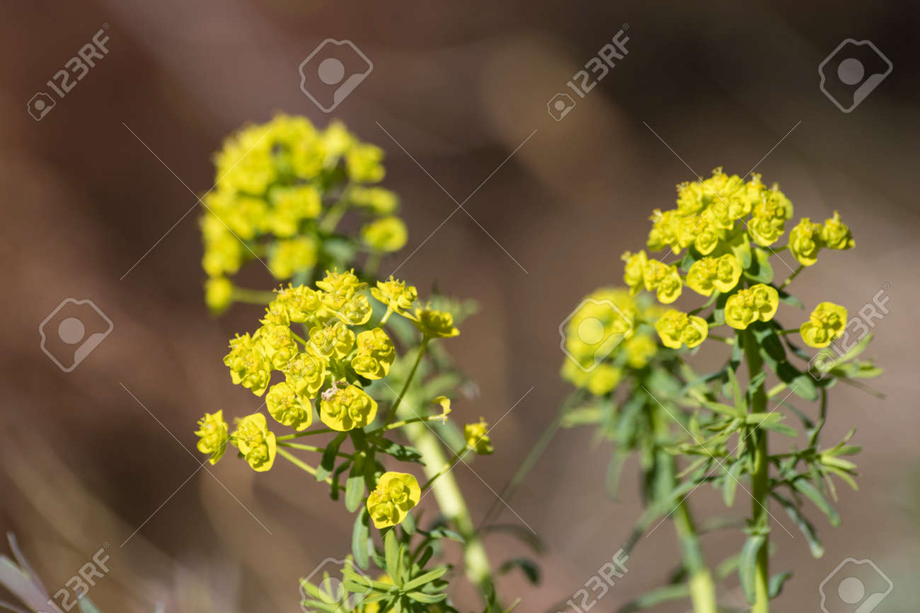 Yellow flowers of a succulent plant stock photo picture and royalty stock photo yellow flowers of a succulent plant mightylinksfo