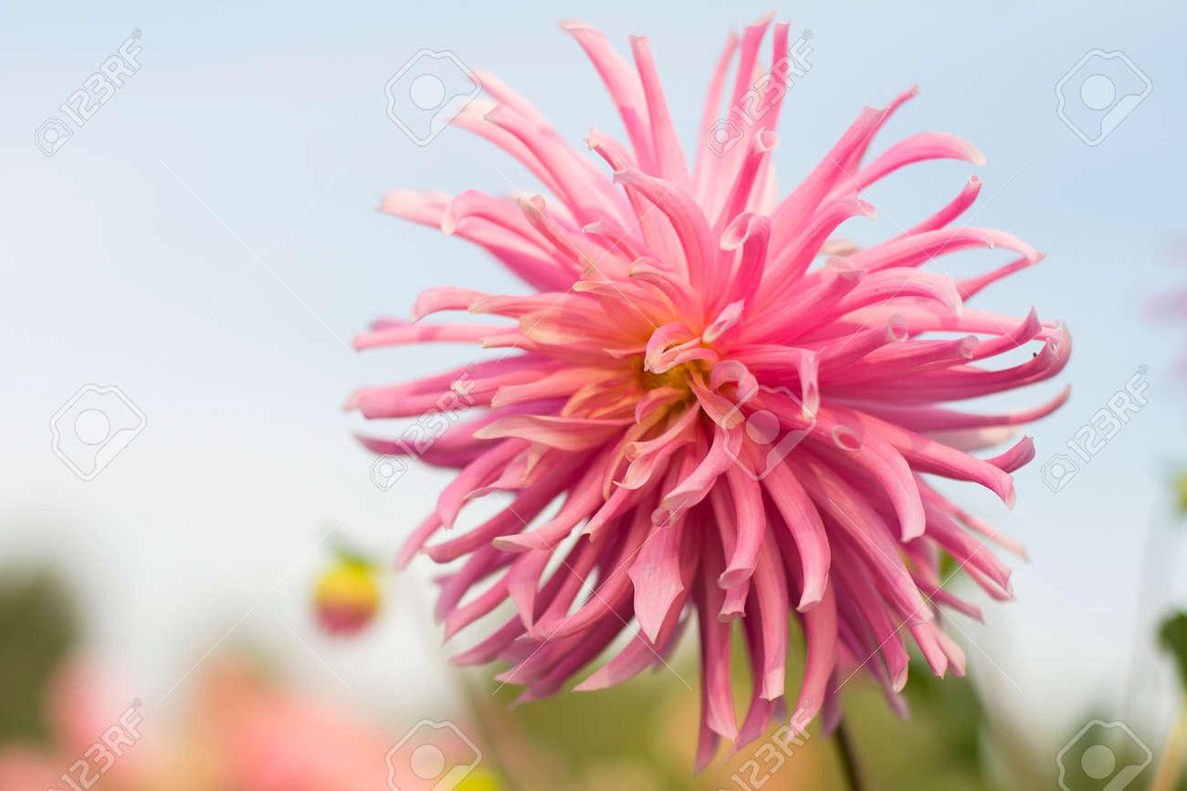 Dahliapinkflower blossomacutifoliateflowers fresh garden dahliapinkflower blossomacutifoliateflowers fresh garden izmirmasajfo