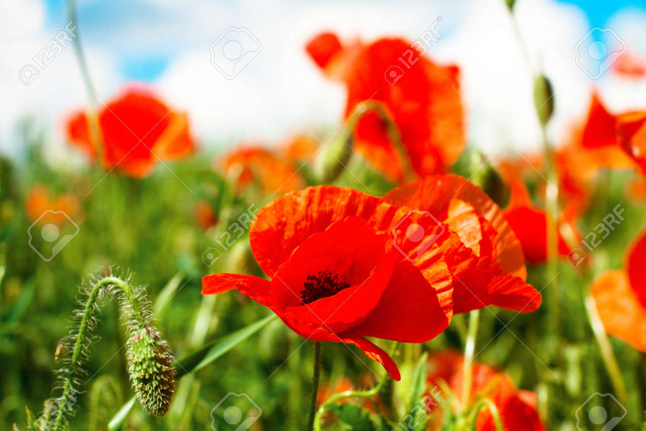 Poppy flower field at night royalty free stock photography image - June Flowers Poppy On A Field In Sunny Day Stock Photo