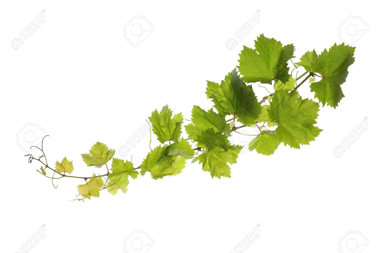 Branch Of Vine Leaves Isolated On White Background Stock Photo Picture And Royalty Free Image Image 31025031