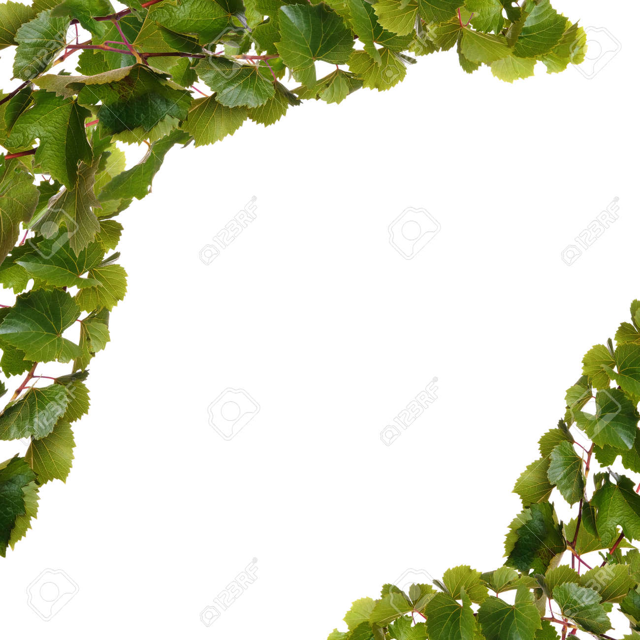 Branches Of Vine Leaves Isolated On White Background Stock Photo Picture And Royalty Free Image Image 89779104