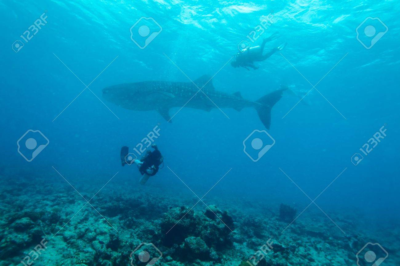 Whale shark (Rhincodon typus) with divers, Maldives Stock Photo - 10329237
