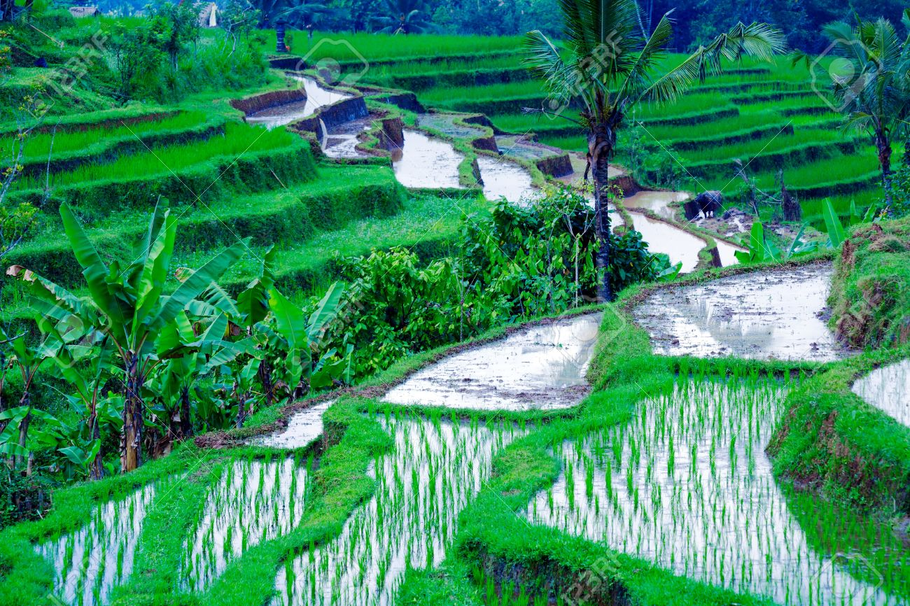 Landscape With Rice Field And Jungle In The Heart Of Bali Island