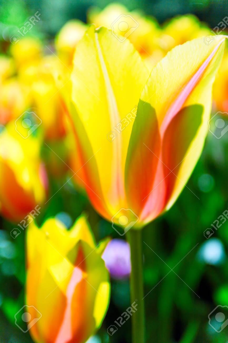 Tulipes Dans Keukenhof à Lisse Jardin De Fleurs Pays Bas Banque D