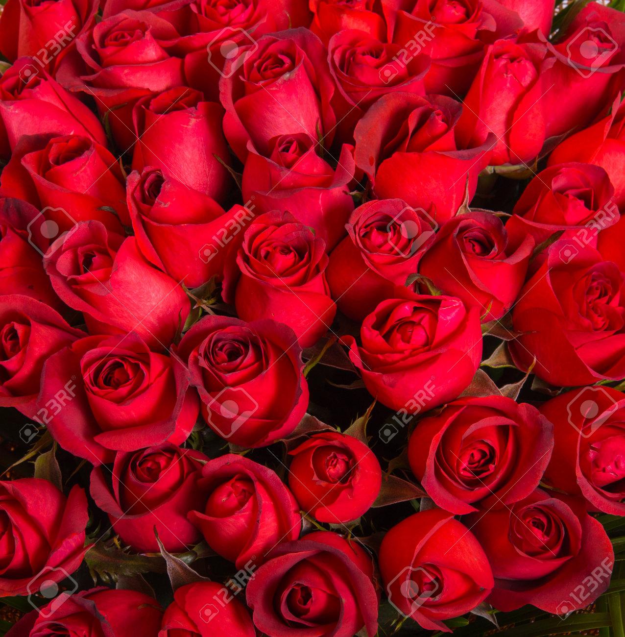 Un Montón Rosas Rojas Naturales De Fondo Fotos Retratos Imágenes