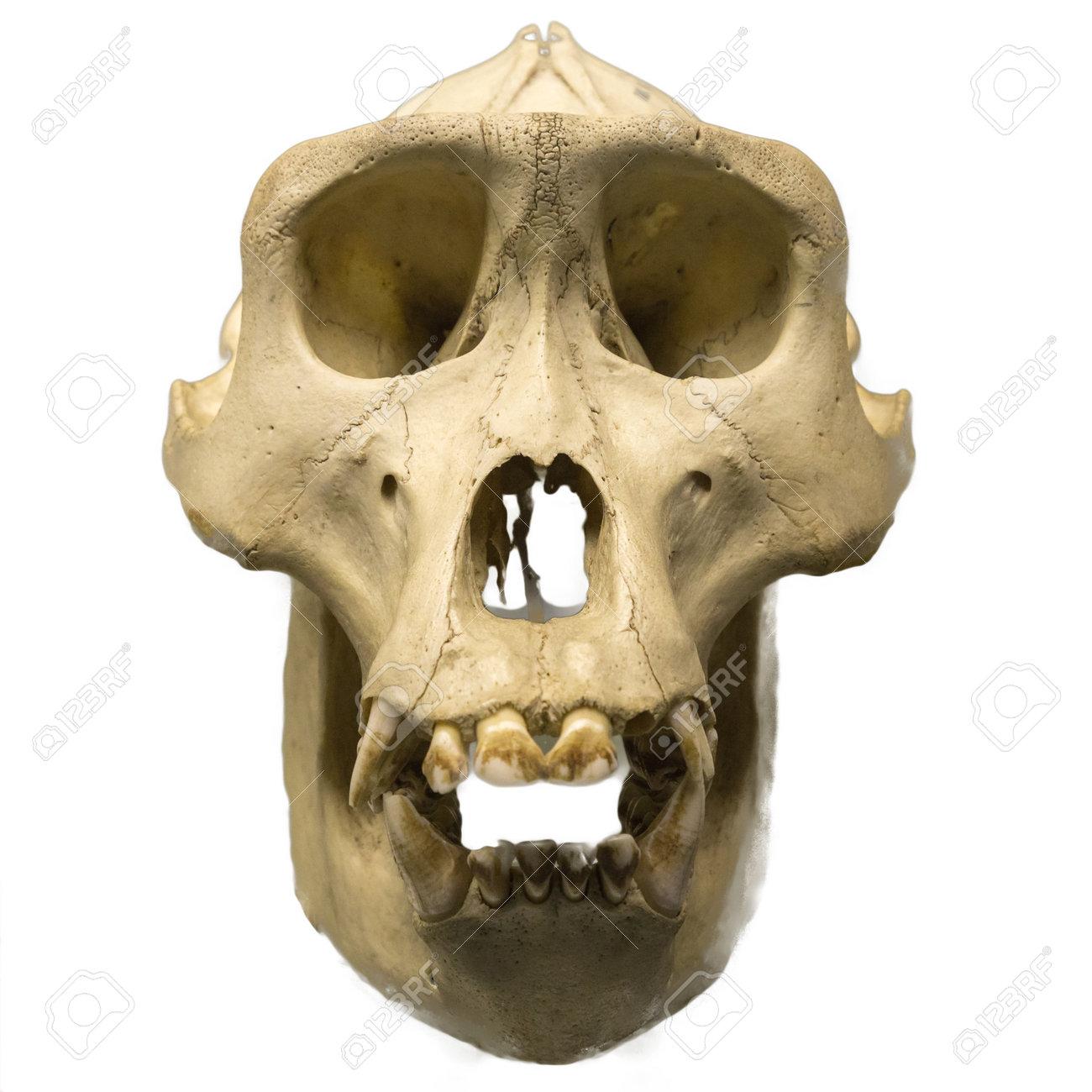 Cráneo Gorila Macho Aislado En Blanco. Fotos, Retratos, Imágenes Y ...