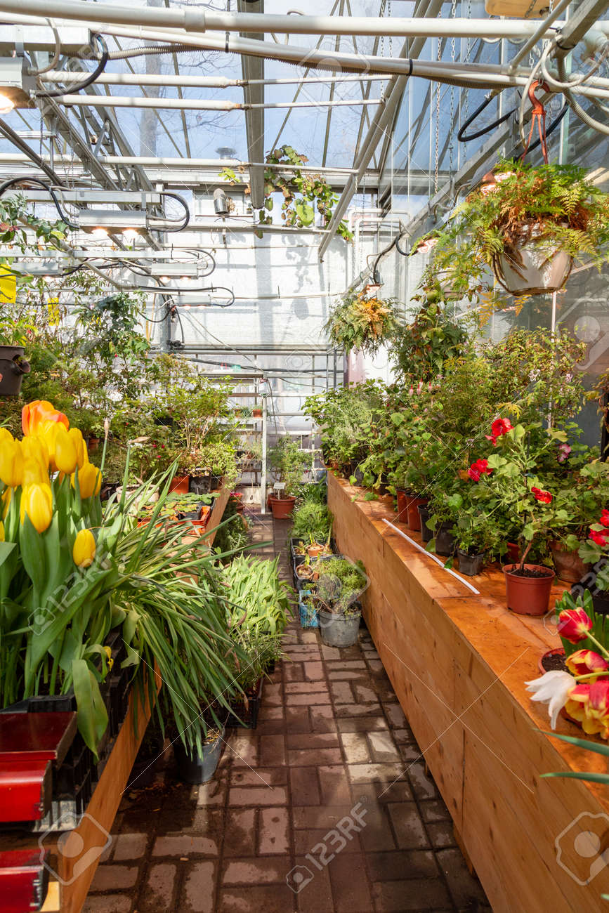 Interior of a greenhouse for growing flowers and plants. Flowers in hothouse in spring - 167063620