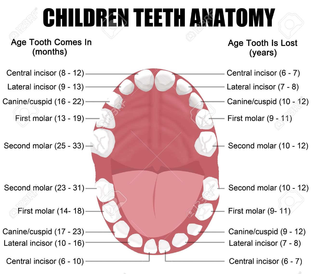 Anatomy Of Children Teeth (shows Eruption And Shedding Time ...