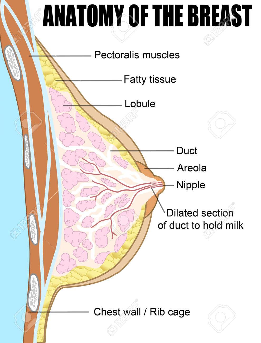 Pecho Femenino Sección Transversal Anatómica Ilustraciones ...