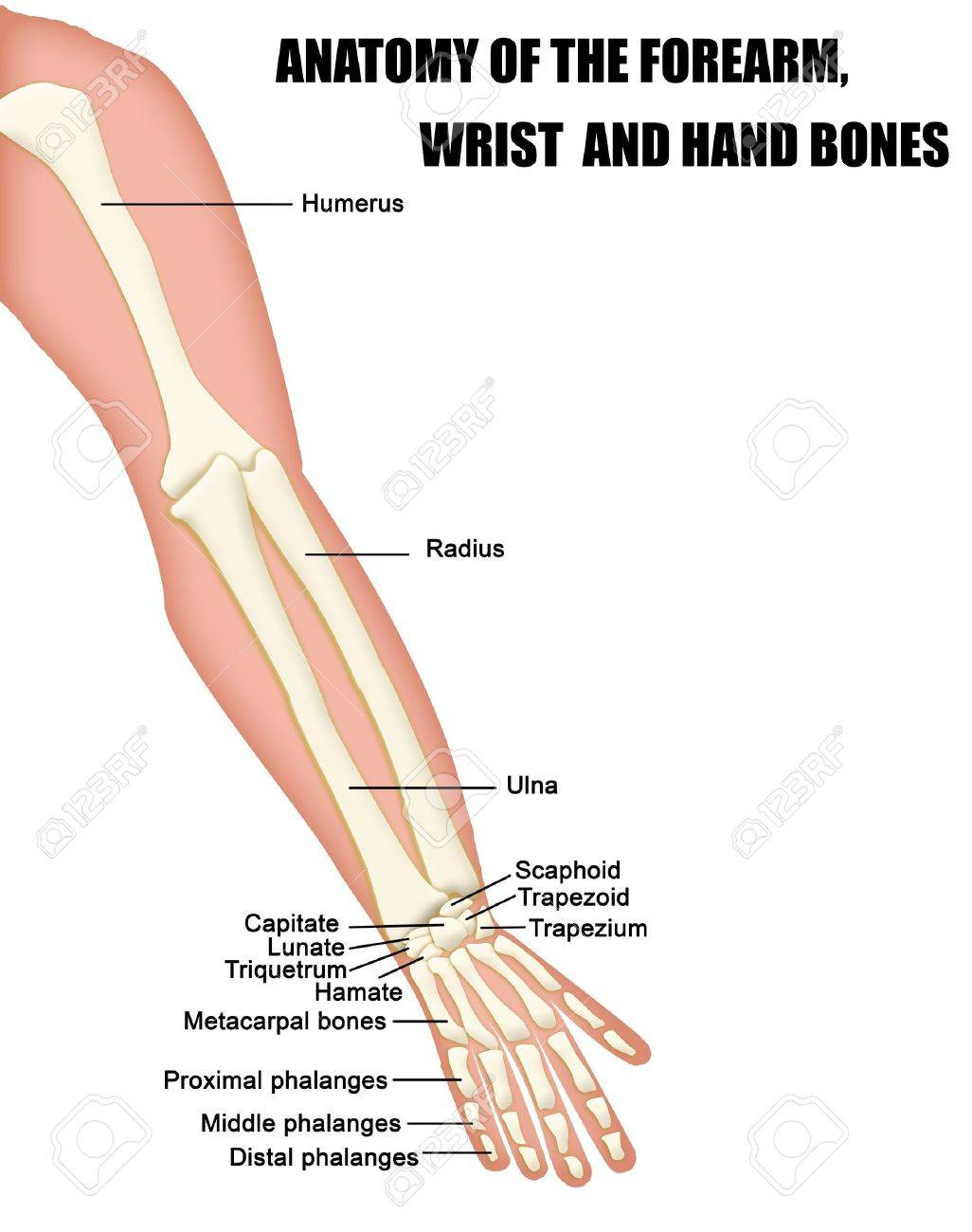 Anatomie Der Unterarm, Handgelenk Und Hand Bones (nützlich Für Die ...