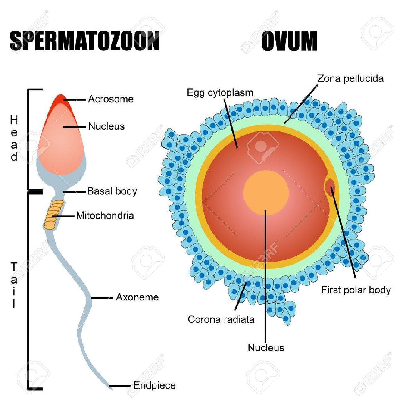 Estructura De Los Gametos Humanos óvulo Y El Espermatozoide útil Para La Educación En Las Escuelas Y Clínicas