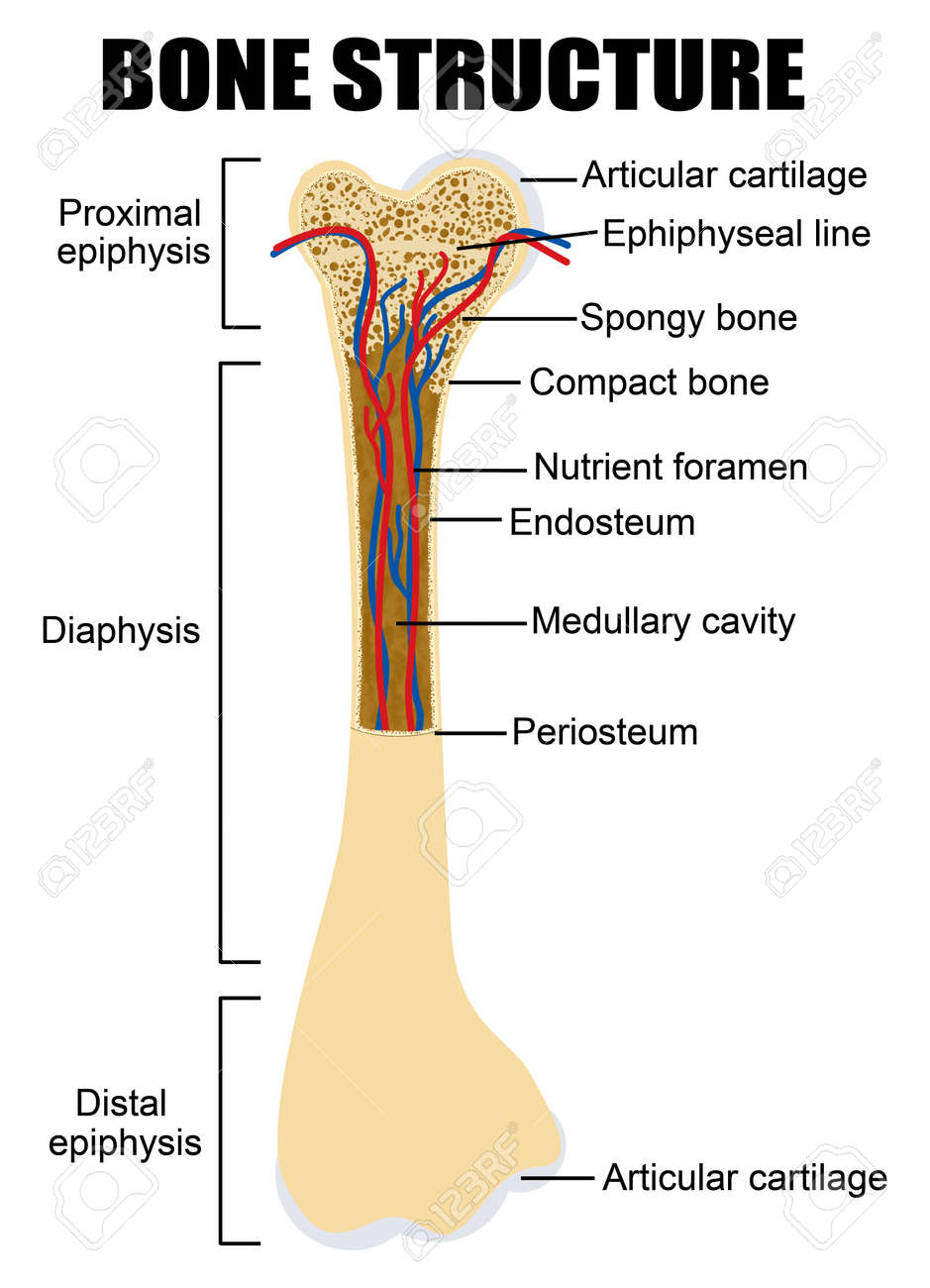 diagram of human bone anatomy (useful for education in schools and clinics  ) - vector