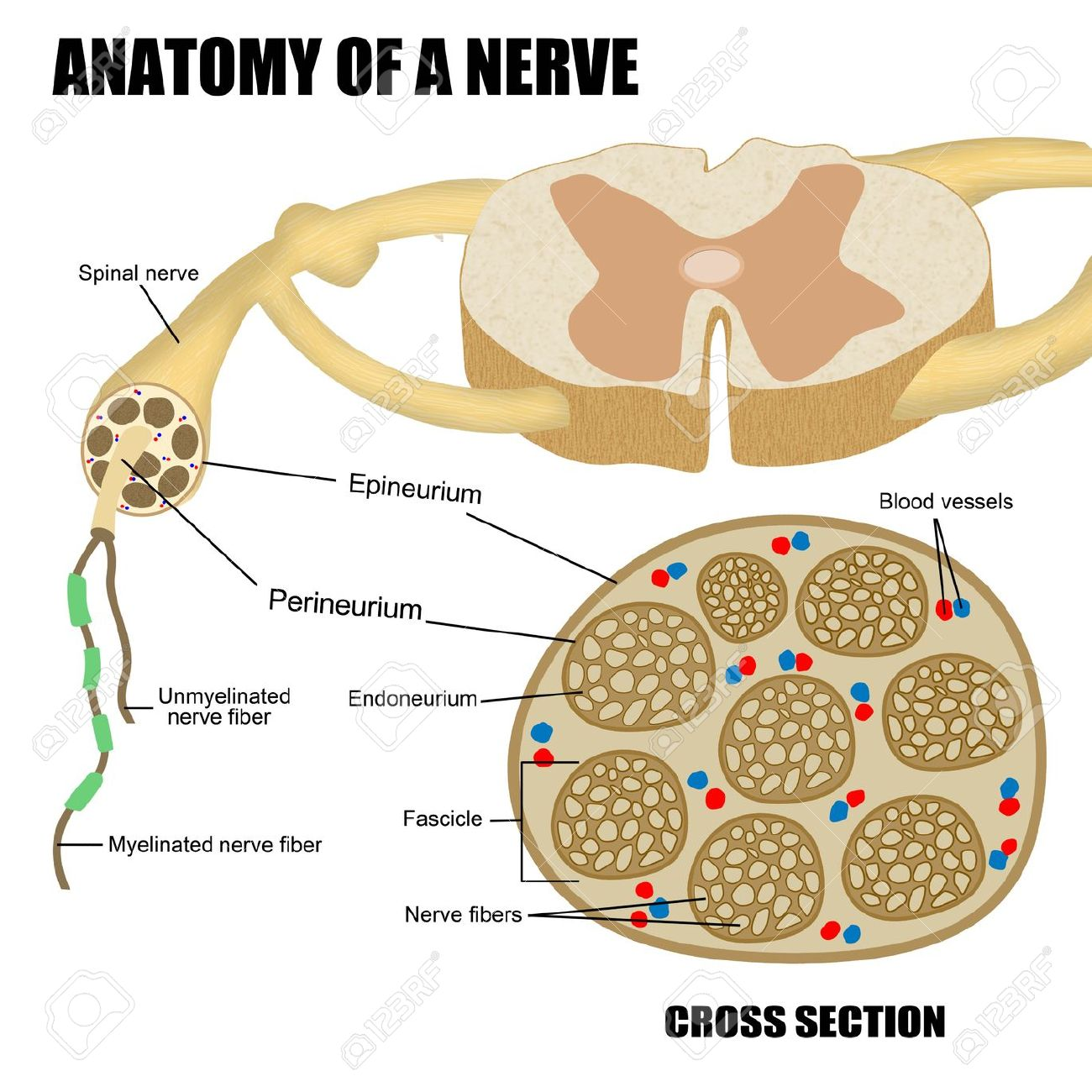 Anatomy Of A Nerve For Basic Medical Education For Clinics Stock