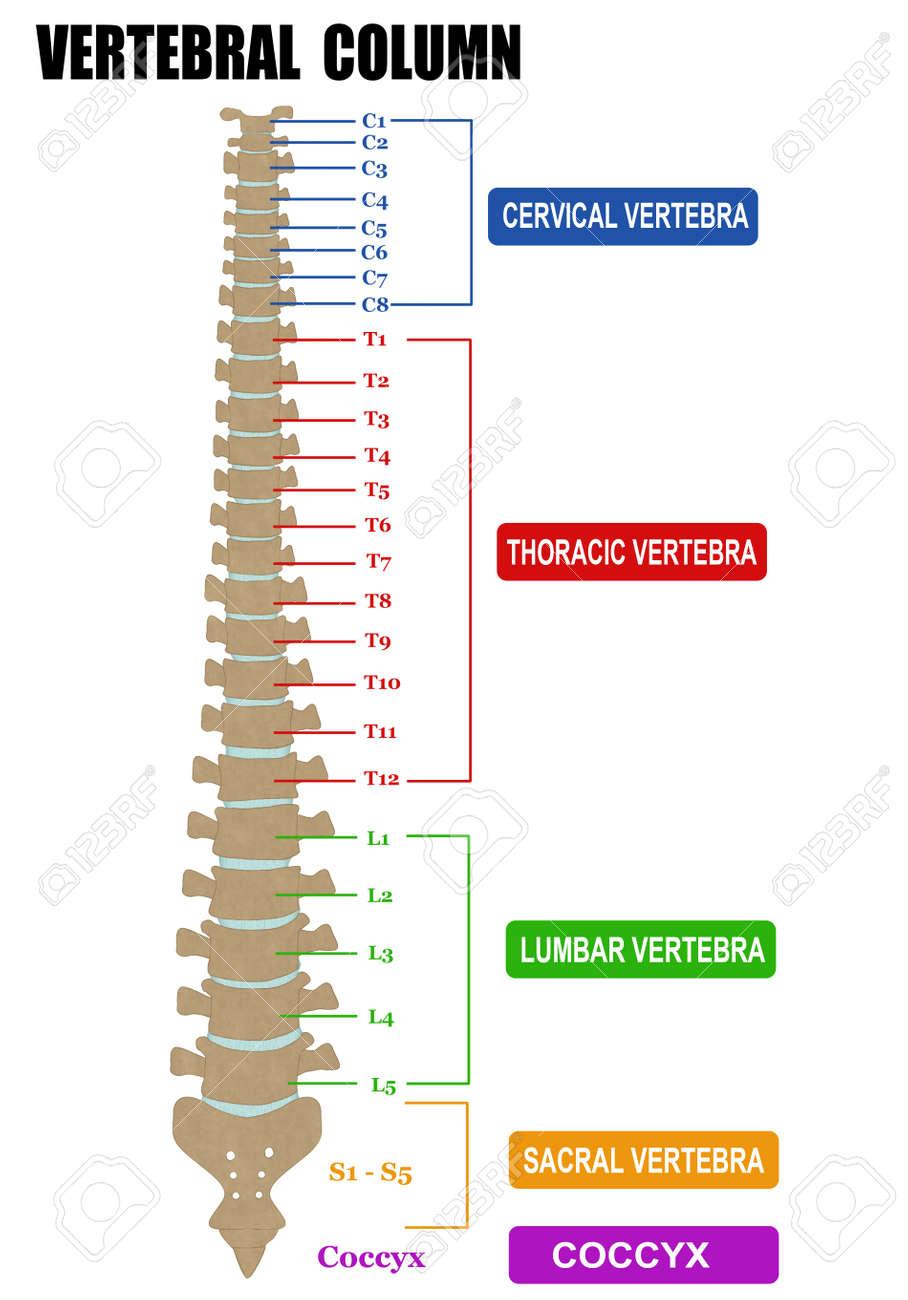 La Columna Vertebral - Incluyendo Grupos Vértebra (cervical ...