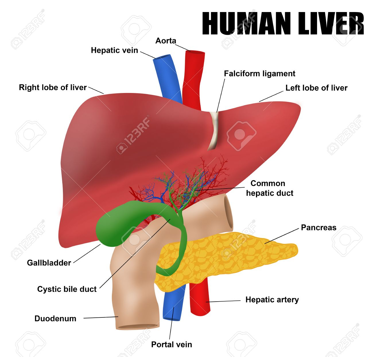 Anatomyof The Human Liver, Vector Illustration (for Basic Medical ...