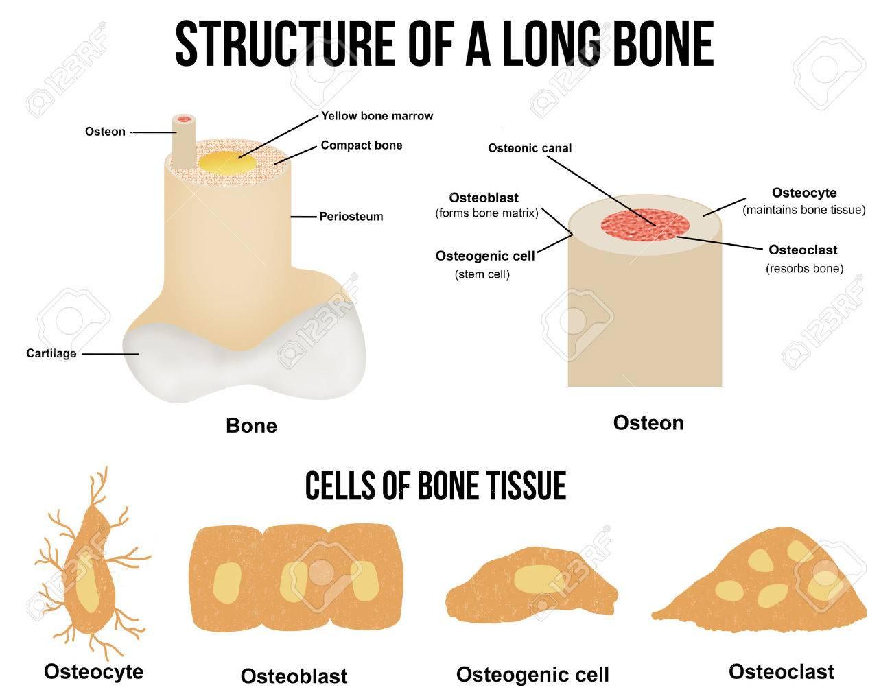 Aufbau Eines Langen Knochens Und Zellen Des Knochengewebes (nützlich ...