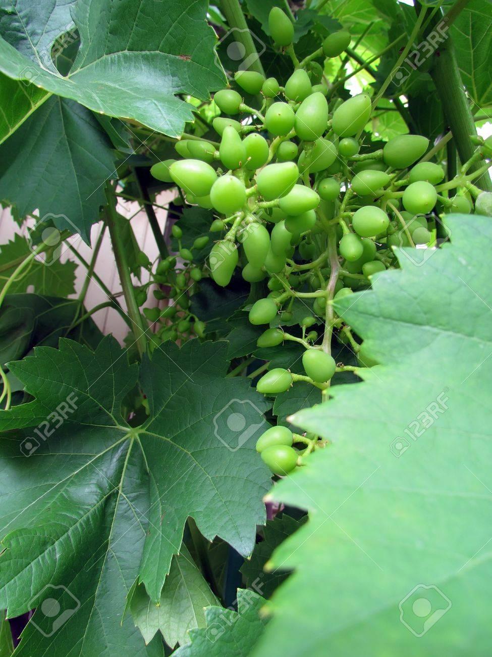 ブドウの枝に夏に熟す ロイヤリ...